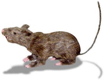 Haarige Eklige Ratte