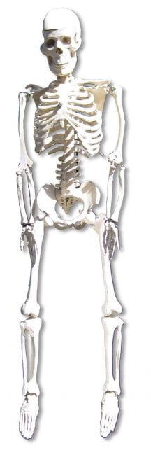 Anatomy skeleton 80 cm
